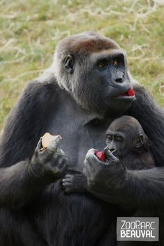 Sheila et sa fille Sawa, née au #zoobeauval. Nos #gorilles forment un groupe remarquable, le plus reproducteur d'Europe : 8 bébés gorilles en 6 ans !