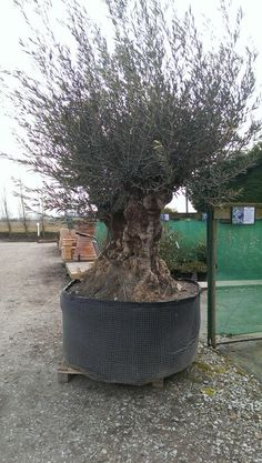 A beautiful two trunked Olea.