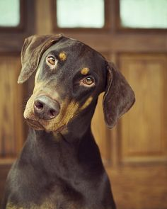 The Doberman Pinscher is among the most popular breed of dogs in the world. Known for its intelligence and loyalty, the Pinscher is both a police- favorite Doberman Puppies For Sale, Doberman Love, Corgi Puppies, Doberman Pinscher Blue, Baby Animals, Cute Animals, Cute Animal Photos, Dog Love, Doge