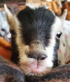 Baby goats are fluffy and adorable. Vegan Animals, Farm Animals, Animals And Pets, Funny Animals, Cute Animals, Baby Goats In Sweaters, Happy Goat, Funny Animal Photos, Sheep Farm