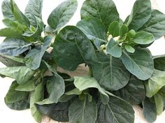 Urban Farming for Food: Asian Leafy Vegetables: Chinese Kale(芥兰)