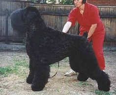 Black Russian Terrier. Another dog I would love to have.