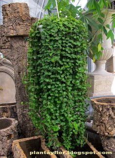 Container Gardening - An Answer To Minimal House For Increasing Vegetation Hanging Peperomia Plant-Care Tips Indoor Garden, Garden Plants, Patio Plants, Planting Succulents, Planting Flowers, Succulent Plants, Hanging Plants Outdoor, Peperomia Plant, Plantas Indoor
