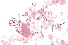 sakura 桜 櫻 by atoshiaki, via Flickr