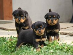 I take all three rottweiler puppies :-)  <3 <3 <3