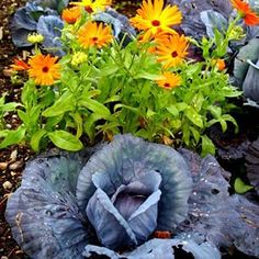 Happy Cabbage Day! I found this beauty in the Victorian Walled Garden at Kylemore Abbey. The 6 acre walled garden is naturally split in two by a stream. In one half you'll find the pleasure gardens, filled with colorful flowers perfect for an afternoon stroll. The kitchen gardens on the other side of the stream are no less beautiful and have you wishing you could play in the dirt and create tasty dishes with the beautiful food that grows here.