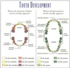 Baby Health, Kids Health, Dental Health, Dental Life, Oral Health, Teeth Eruption Chart, Dental Assistant Study, Dental Hygiene School, Dental Humor