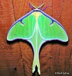 O Livro da Natureza: Insetos Lepidopteros