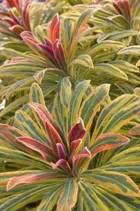 eurphorbia ascot rainbow