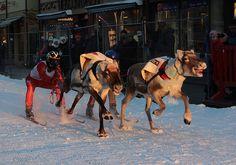 watch a reindeer race