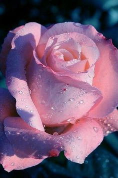 Lovely lilac undertones on this creamy pink dreamy rose