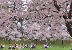 546:「桜満開の弘前公園。園児たちものびのびとかけっこしていました。」@弘前公園