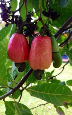 Marañon Tree (Cashew Tree) is where Cashew Nut (Semilla de Marañon) come from. The Marañon fruit is call the Cashew Apple. To me they look more like a red pepper and are softer than an apple. Fruit Plants, Fruit Garden, Fruit Trees, Trees To Plant, Cashew Tree, Cashew Apple, Fruit And Veg, Fruits And Veggies, Fresh Fruit