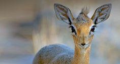 Close up of a Damara Dik-Dik (Madoqua kirkii) from Etosha National Park, Namibia