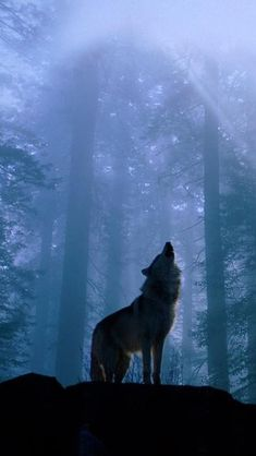 Twilight Foggy Forest Wolf Howl #iPhone #5s #wallpaper
