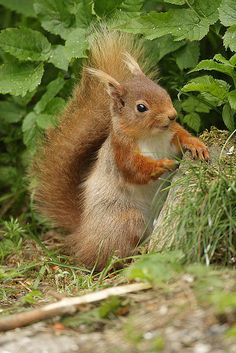 There is a kind of human pose and expression with this red squirrel that made me chuckle aloud.