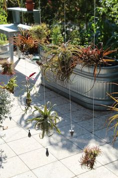 Naples Botanic Garden - Bromiliads hanging on wires creates a wonderful outdoor room partition for this creative sitting space. Air Plants, Cactus Plants, Gardens Of The World, Outdoor Rooms, Naples, Botanical Gardens, Ukraine, Succulents, Brother
