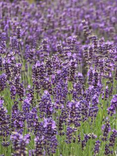 [something creative here]: Lavender Fields Forever
