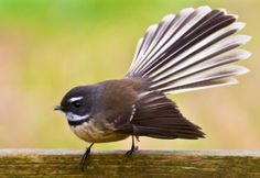 New Zealand fantail. Love it's stance!