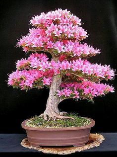 Source by markuhulu . Unusual Plants, Exotic Plants, Exotic Flowers, Beautiful Flowers, Flowering Bonsai Tree, Bonsai Tree Types, Indoor Bonsai Tree, Bonsai Trees, Plantas Bonsai