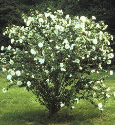 Picture of Hibiscus syriacus 'Diana' shrub