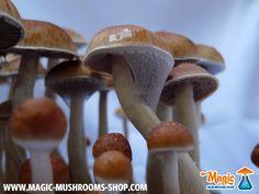 McKennaii  http://www.magic-mushrooms-shop.com/en/mckennaii-cubensis-magic-mushroom-grow-kit.html