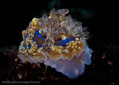 An amazing Nudibranch from the waters around the Poor Knights Islands in the north of New Zealand. Photo by Craig Chalmers