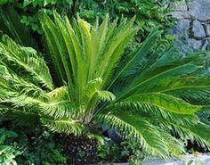 meer dan 1000 idee n over palmier cycas op pinterest