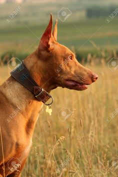 Pharaoh hound dog head Hound Dog Breeds, Dog Breeds Pictures, Pharaoh Hound, Art Techniques, Photo Editing, Profile, Stock Photos, Side View, Portrait