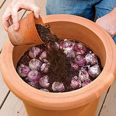 Bulbs How to Plant Bulbs in a Container - planting in fall and leaving outside during winter will bring forth better blooms because of the exposure to winter cold! - Planting bulbs in containers in the fall will give you a sunny show for spring. Garden Bulbs, Garden Plants, Planting Bulbs In Spring, Potted Plants, Fall Planting Flowers, Planting In The Fall, Planting Tulip Bulbs, Perennial Bulbs, Fall Plants
