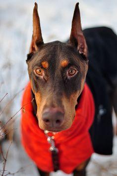 Doberman - -   A Clemson owned  doberman, who wears his orange scarf!