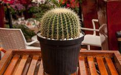 CACTO BOLA: originário do México, tem formato globoso, como o próprio nome diz, e cresce somente até 30 cm de altura.