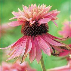 Echinacea 'Doubledecker'