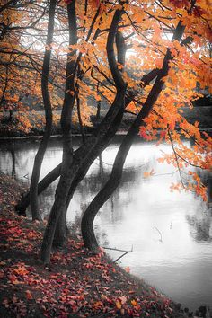 Autumn photography, nature print, orange autumn leaves, silver water, dark trees bright leaves,Family Tree