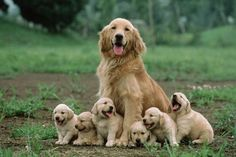 Get healthy and ethically bred Golden Retriever puppies for sale, Golden Retriever dogs for adoption in India. Buy KCI Registered Golden Retriever puppies from Mr n Mrs Pet the online pet shop. Retriever Puppy, Dogs Golden Retriever, Golden Retrievers, Labrador Retrievers, Animals And Pets, Baby Animals, Funny Animals, Cute Animals, Pretty Animals