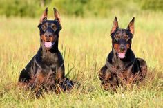 Doberman | Doberman Pinscher - Animals Photos