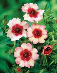 Potentilla Light My Fire, potentilla grows in clay soil Garden Shrubs, Garden Trees, Shade Garden, Lawn And Garden, Partial Shade Flowers, Pretty Flowers, Growing Plants From Seeds, Long Blooming Perennials, Light My Fire