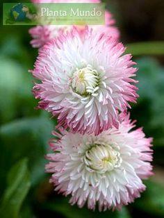 English Daisy - Planta Mundo