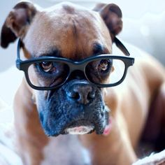 Boxers are naturally smart.