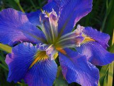 LA Clyde Richmond Ponds, Iris, Gardening, Lawn And Garden, Bearded Iris, Horticulture, Water Feature, Irises
