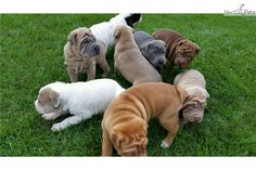 Chinese Shar-Pei puppy for sale near Chicago, Illinois | 8bac0e98-1981