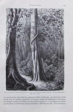1896 FICUS MIT KLETTERWURZELN alter Druck antique Print Litho Sikkim-Himalaya