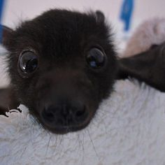 Baby Bats Are Adorable, Click the link to view today's funniest pictures! ~ How could you not love this cute bat! Cute Creatures, Beautiful Creatures, Animals Beautiful, Cute Baby Animals, Animals And Pets, Funny Animals, Animal Pictures, Funny Pictures, Funniest Pictures