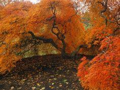 Colori d'autunno: Acero giapponese