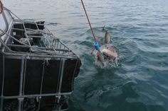 Our white shark conservation volunteers got a great view from the cage today.