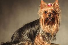 As pets, Teacup Yorkie dogs are adorable, If you are interested to know the list of Yorkie Dog Breeds that are popular today read the Guide About Teacup Dogs All Small Dog Breeds, Cute Dogs Breeds, Small Dogs, Miniature Yorkshire Terrier, Yorkie Dogs, Yorkies, Best Pet Dogs, Ugly Dogs, Scary Cat