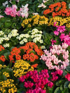 Centennial Park Conservatory Spring Flower Show 2014 cyclamen kalanchoe garden muses-not another Toronto gardening blog