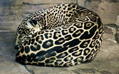 sleeping female jaguar. This is just too gorgeous!