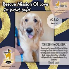 "Our 24-Karat GOLD fundraising initiative is underway and we are grateful to the people who have donated to help so many Goldens. We thought we would feature some of the Goldens that we hope to help. Let's meet Yukon #3340. ""Hi everyone! With my name, I'm already half-Canadian, so I'm hoping that will help when some of us Cairo Goldens are chosen to come to your fine country. I'm young, polite, and nice… just like you Canucks!"" If you'd like to help Yukon or his friends, please consider… Can You Help, We Need You, In Dire Need, Kind And Generous, Francis Of Assisi, Make A Donation, Save Life, Cairo, All Over The World"