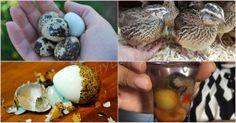 The Eggs Of Japanese Quail As A Medicine